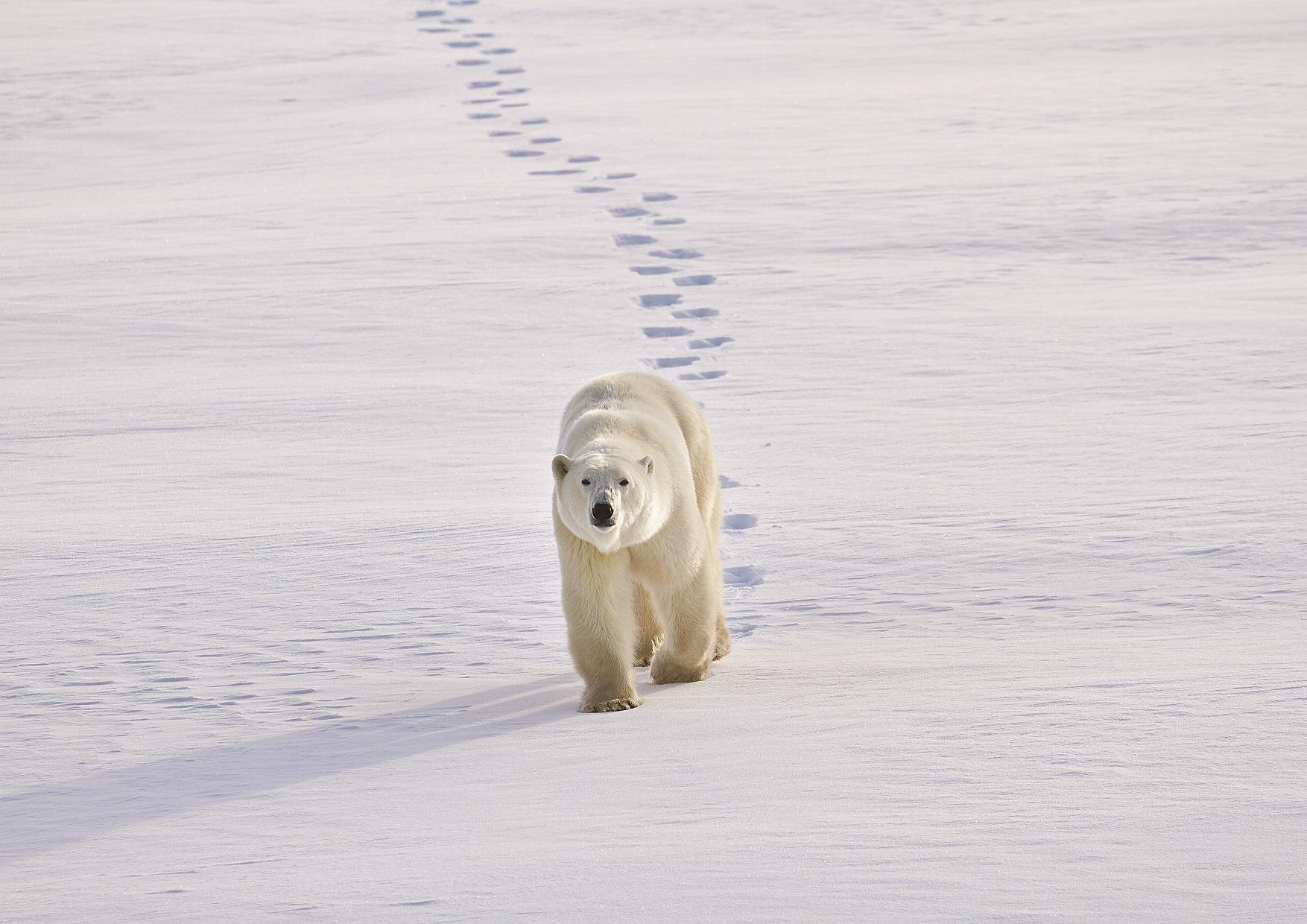 IJsbeer Canada, ijsbeer reis
