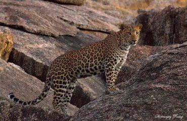 Luipaard bij Bera Safari Lodge