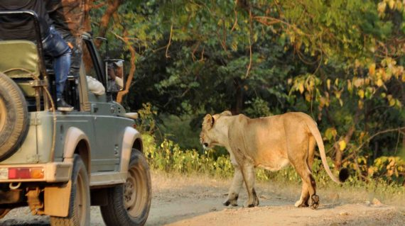 Leeuwin in Gir NP © All for Nature Travel