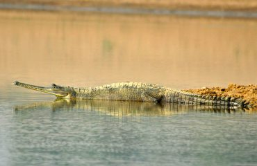 Gaviaal India ©All for Nature Travel