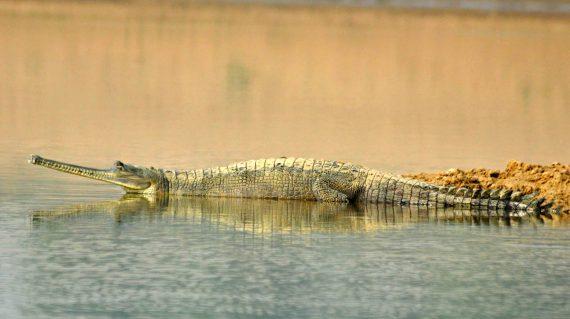 Gaviaalkrokodil Chambal ©All for Nature Travel