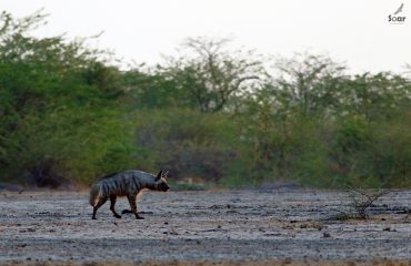 Gestreepte hyena in Little Rann of Kutch