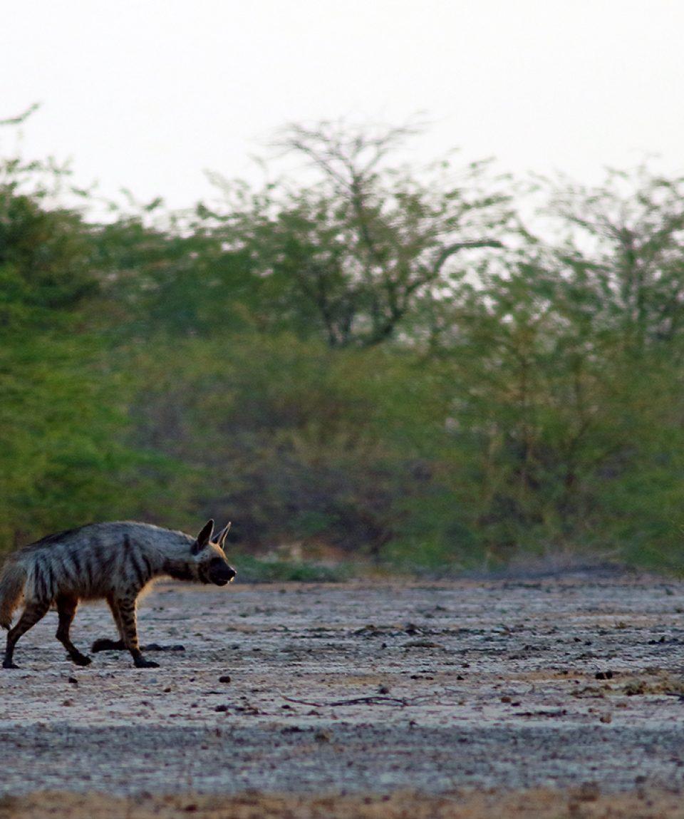 Gestreepte hyena in Little Rann of Kutch