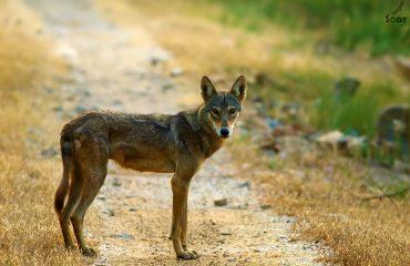 Indiase wolf in Velavadar National Park