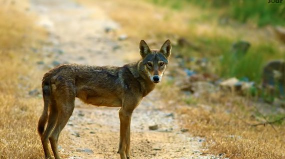 Indiase wolf in Velavadar National Park