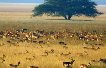 Black Bucks in Velavadar