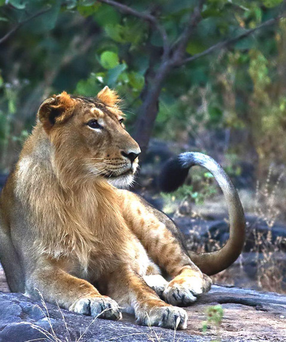 Leeuw Gir met dank aan Soar