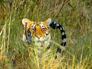 tijger, tijgersafari, Kanha NP