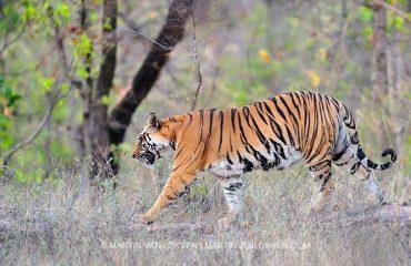 Tijger in Bandhavgarh NP ©Martin van Lokven