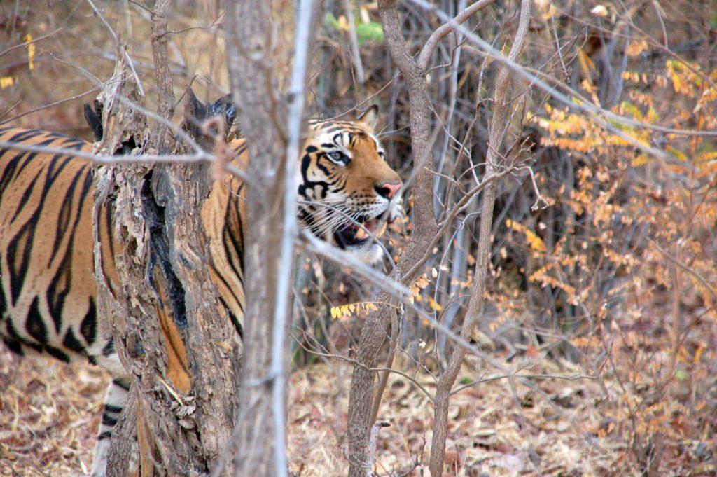 tijger, India, tijgersafari, Kanha, Bandavgarh, tadoba