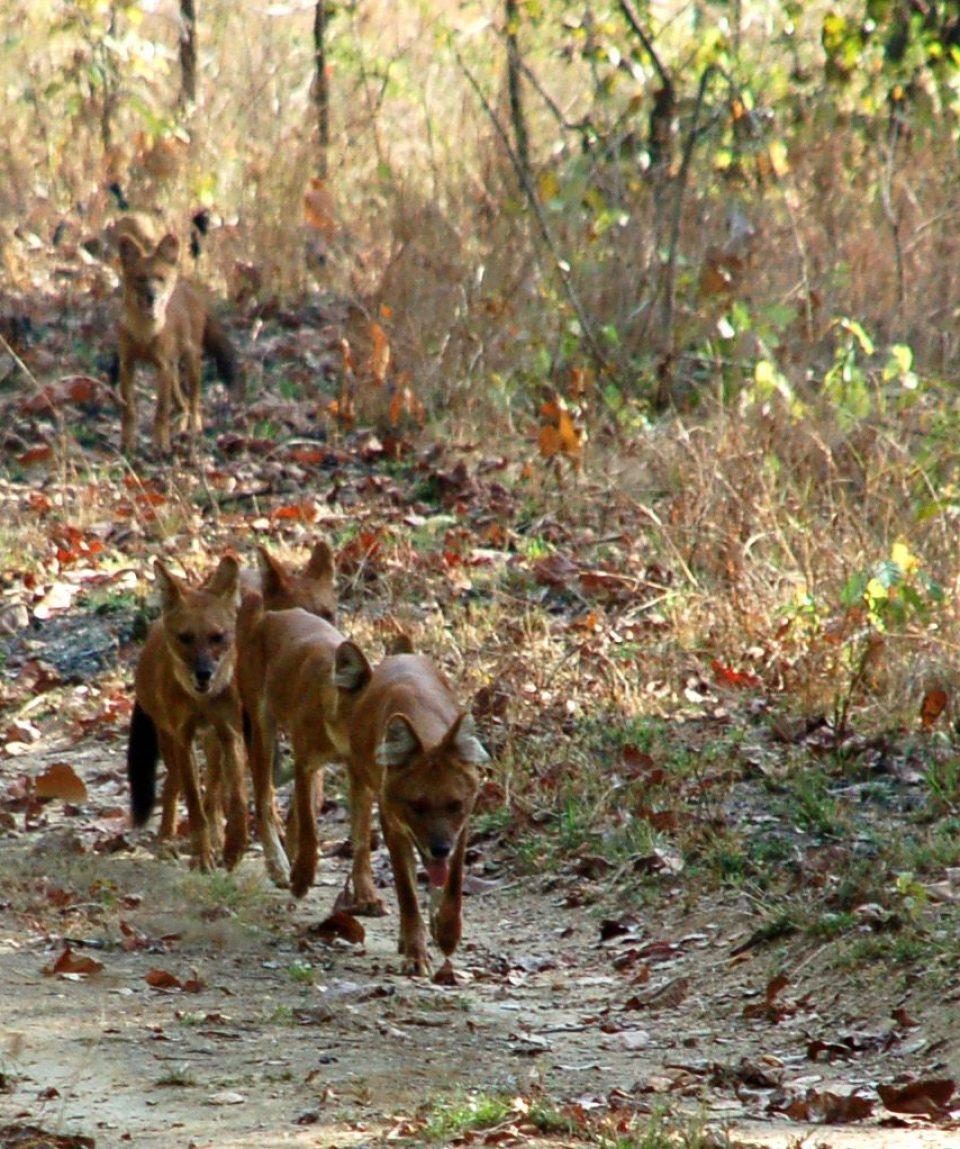 wilde honden of dholes in Kanha NP