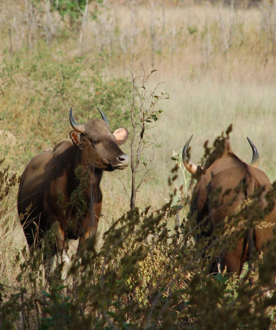 Gaur © All for Natue Travel