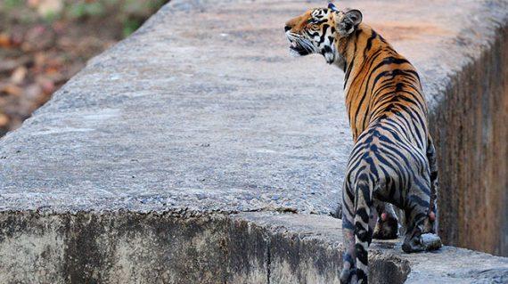 Tijger Bandhavgarh National Park ©Martin van Lokven
