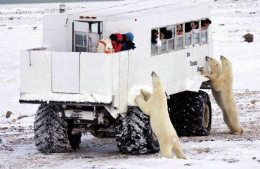 Ijsberen bij de Tundra Buggy ©RC Buchanan