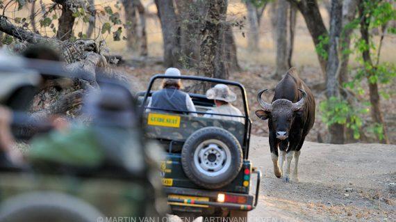 Gaur bull in Bandhavgarh NP ©Martin van Lokven