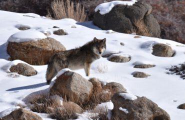 Himalayawolf  Ladakh met dank aan Dhr. Beets