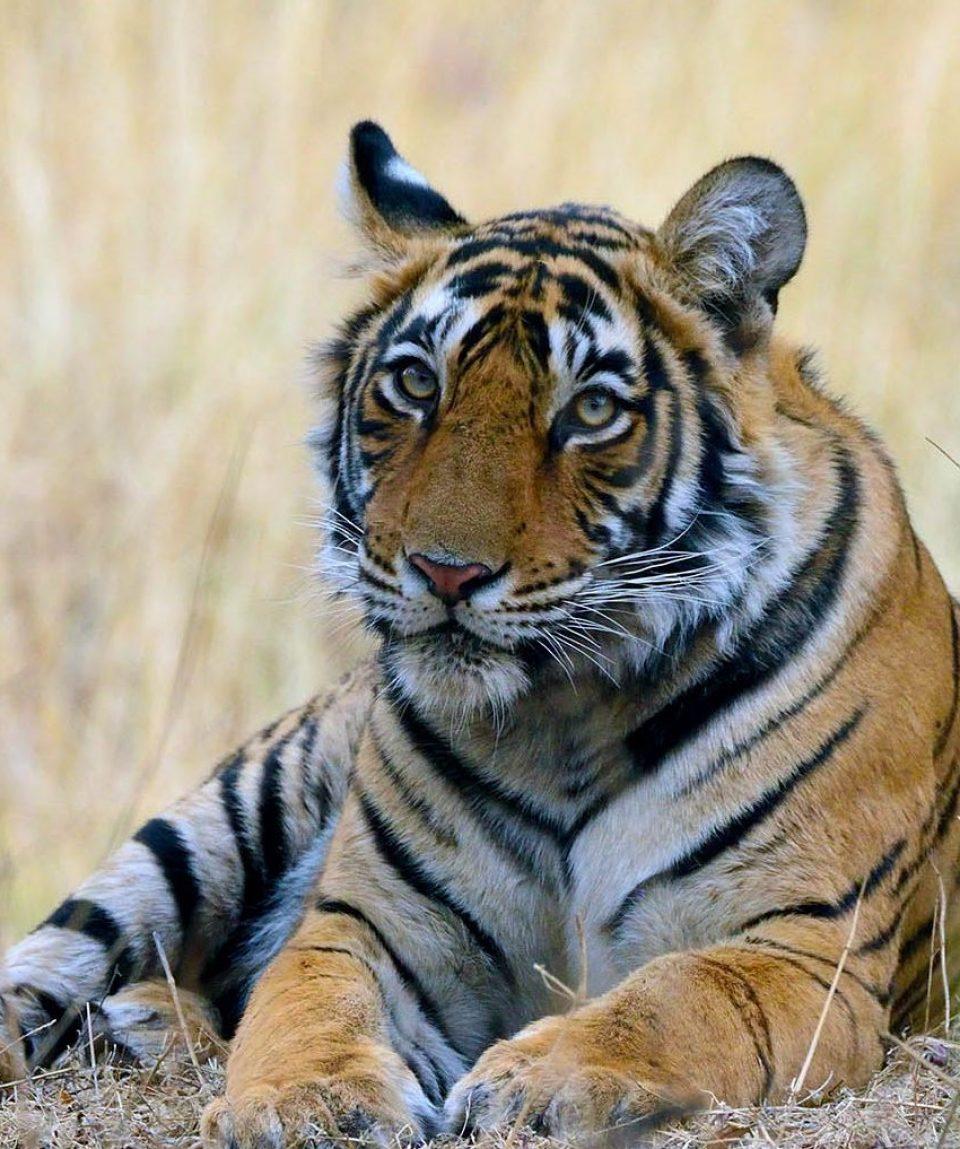 tijger ©Martin van Lokven