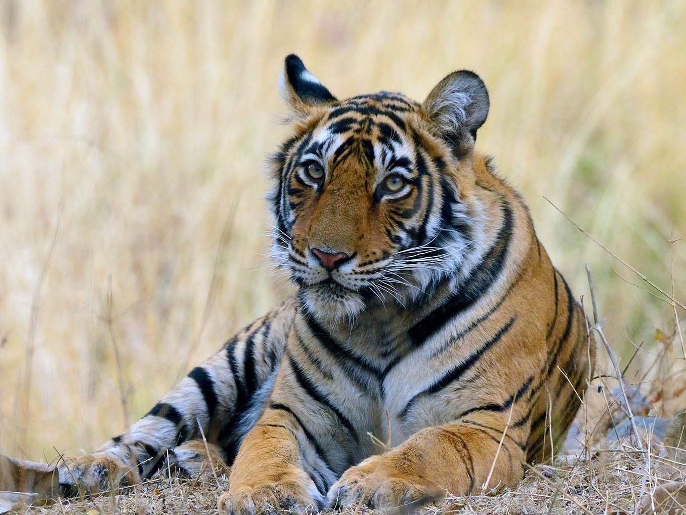 tijger fotograferen