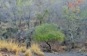 Tijgers fotograferen in Bandavgarh NP ©Martin van Lokven