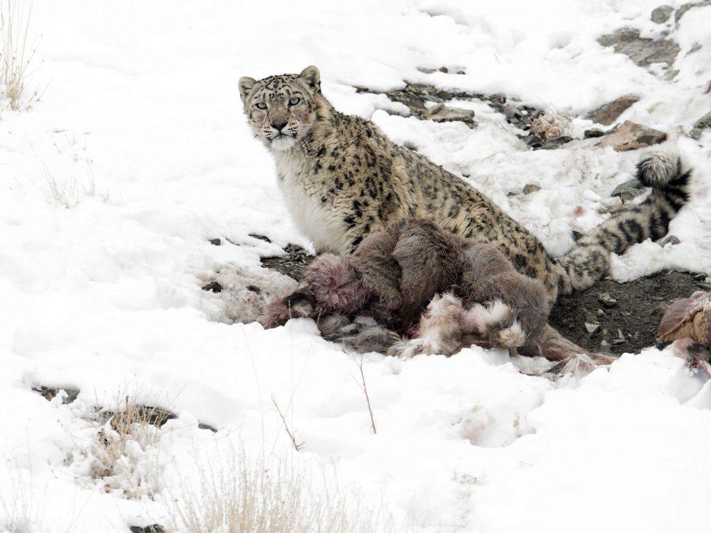 sneeuwluipaard, ladakh, india