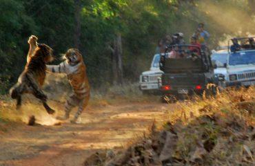 Tijgers in gevecht in Tadoba