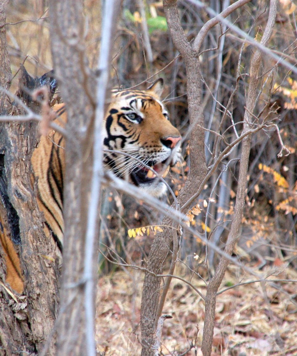 Tigers of Tadoba © All for Nature Travel