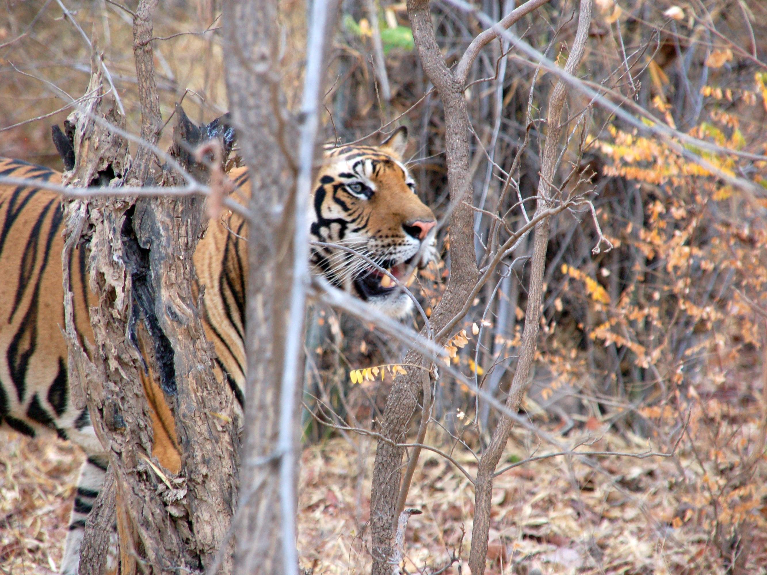 tijgersafari, tijgerreis India