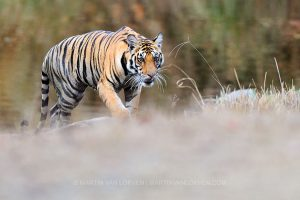tijger, kanha, tijgersafari, fotografiereis