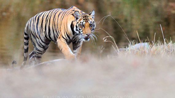 Young tigress Kanha India - ©Martin van Lokven