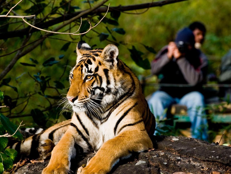 Tijger in Kanha NP, Dynamic, tijgers fotograferen