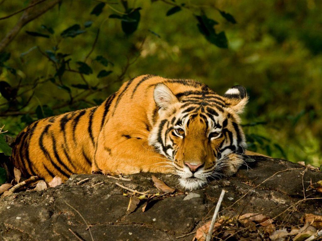 Tijger, Kanha, India, tijgersafari