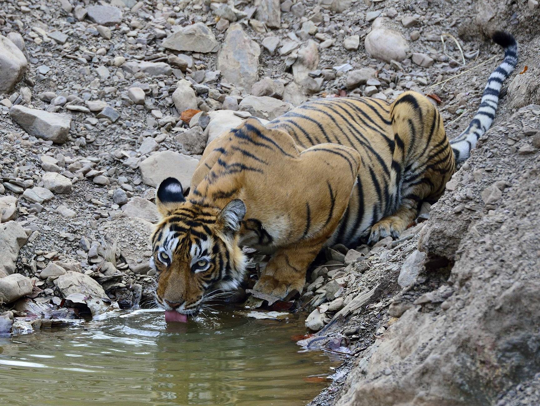 tijgers fotograferen India, tijger Ranthambhore