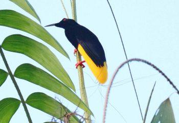 12 wire paradijsvogel Sepikrivier