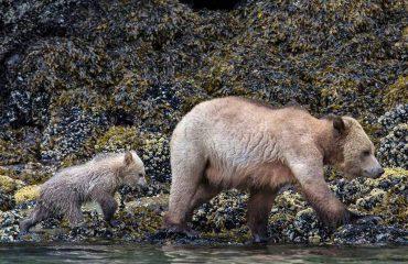 Grizzly met jong aan de kust Knight Inlet