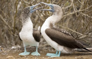 blauwvoetgent, blue footed booby ©Yolanda-Escobar-Jiménez web