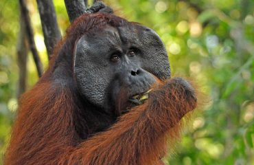Orang-oetan mannetje Tanjung Puting ©All for Nature Travel