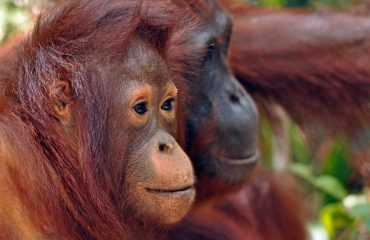 orang-oetan Tanjung Puting © All for Nature Travel