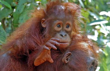 baby orang-oetan Borneo ©All for Nature Travel