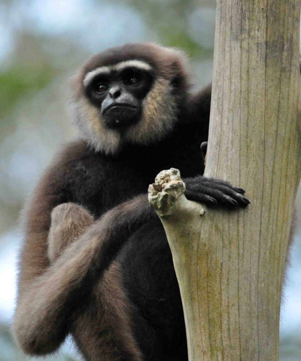 Gibbon © All for Nature Travel