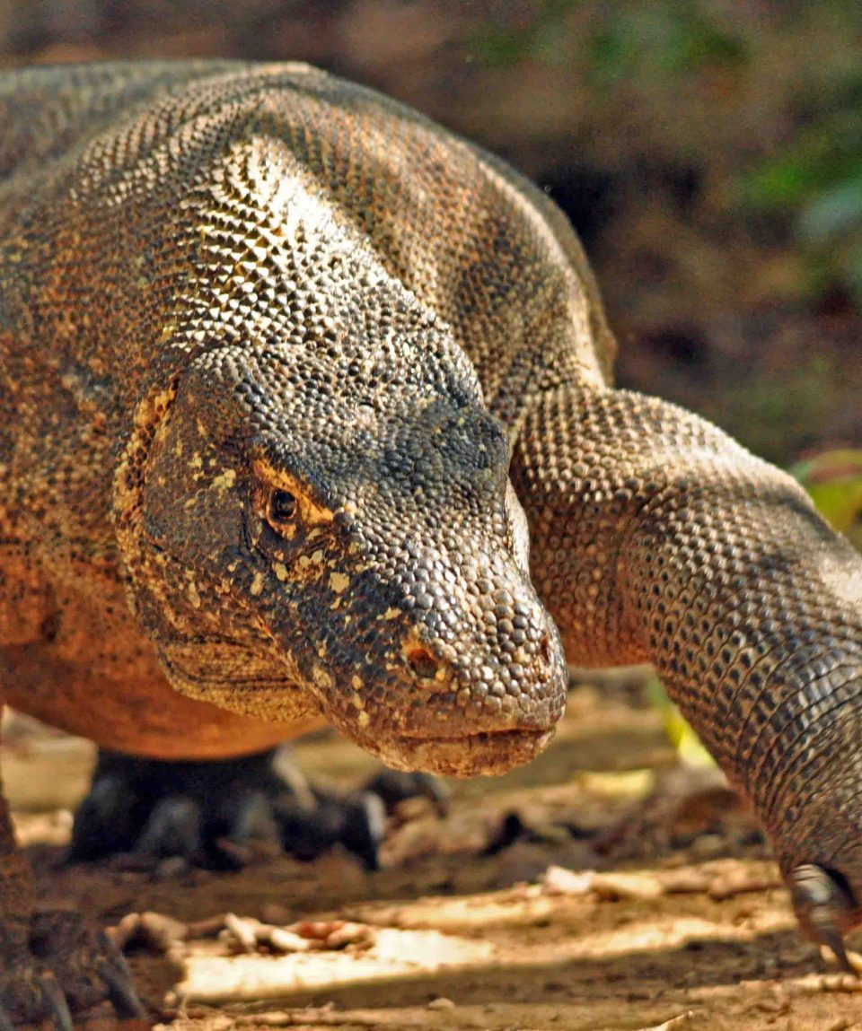 Komodovaraan © All for Nature Travel