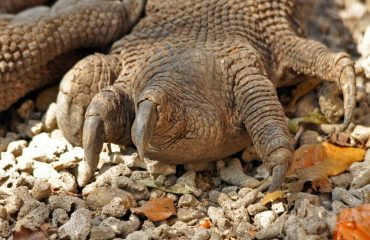 detail Komodovaraan © All for Nature Travel