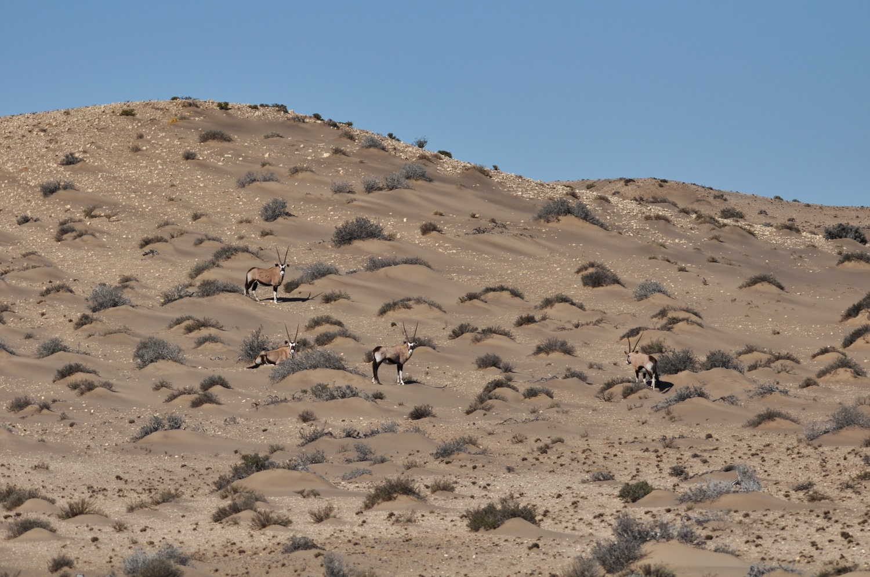Gemsbok, spiesbok, sperrgebiet, namibie