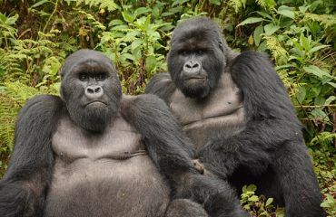 best friends gorilla's Rwanda © All for Nature Travel