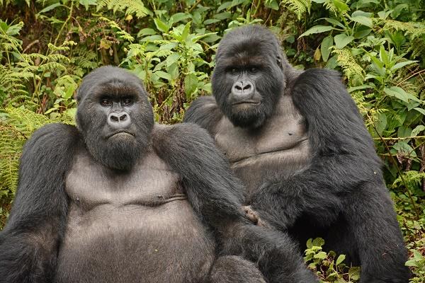 berggorilla, rwanda, silverbacks