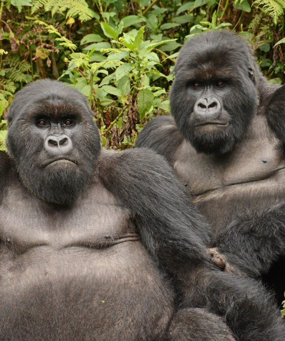 gorilla's Rwanda