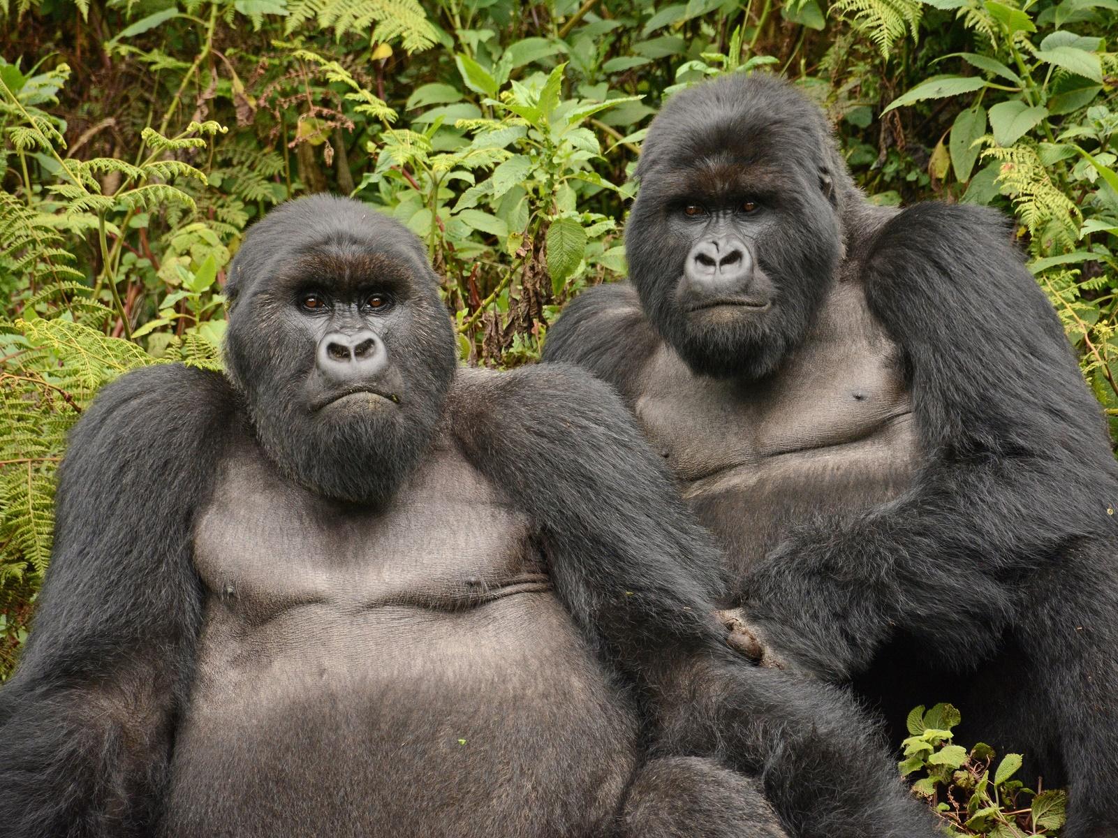gorillareis Rwanda