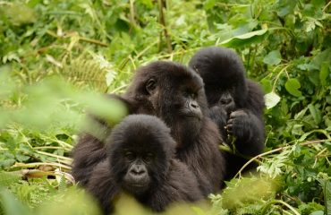 berggorilla trekking Rwanda ©All for Nature Travel