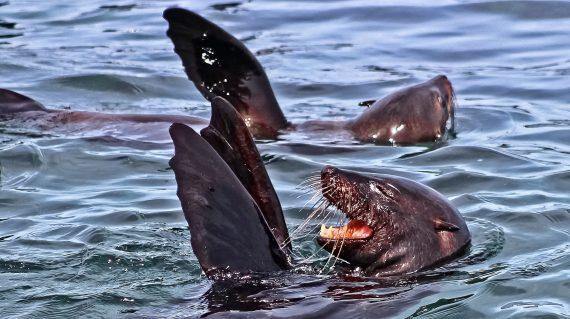 zeeleeuw met Marine Dynamics