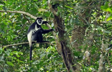 Colobus © All for Nature Travel