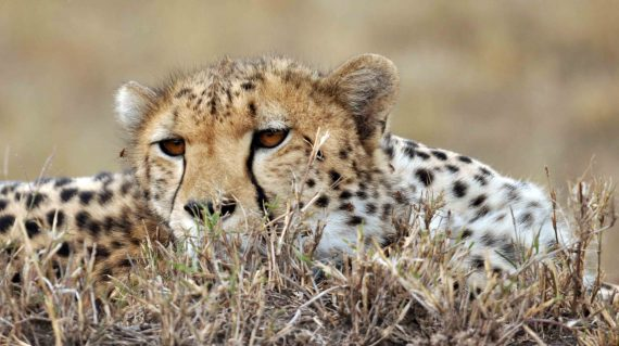 cheeta Masai Mara © All for Nature Travel